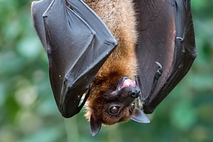 a bat hanging upside down after being safely removed from a home in Dartmouth, MA