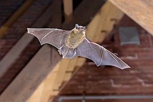 a bat in a home that will be removed by an animal control expert