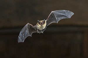 a bat in a Westport, MA home that is being removed through animal control