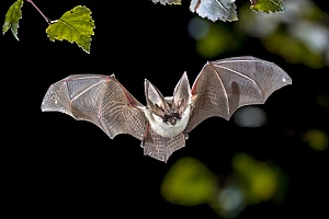 a bat that will be removed by Massachusetts bat removal
