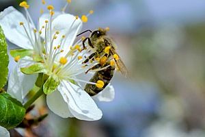 a bee collecting pollen on a flower after being removed from a home