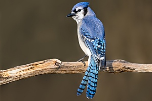 a blue jay that was found in a home and removed by an animal control professional