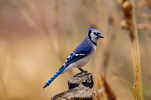 a blue jay that was removed from a home in Mattapoisett, MA