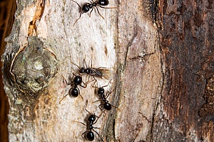 a carpenter ant colony outside of a Rochester, MA home that will be removed