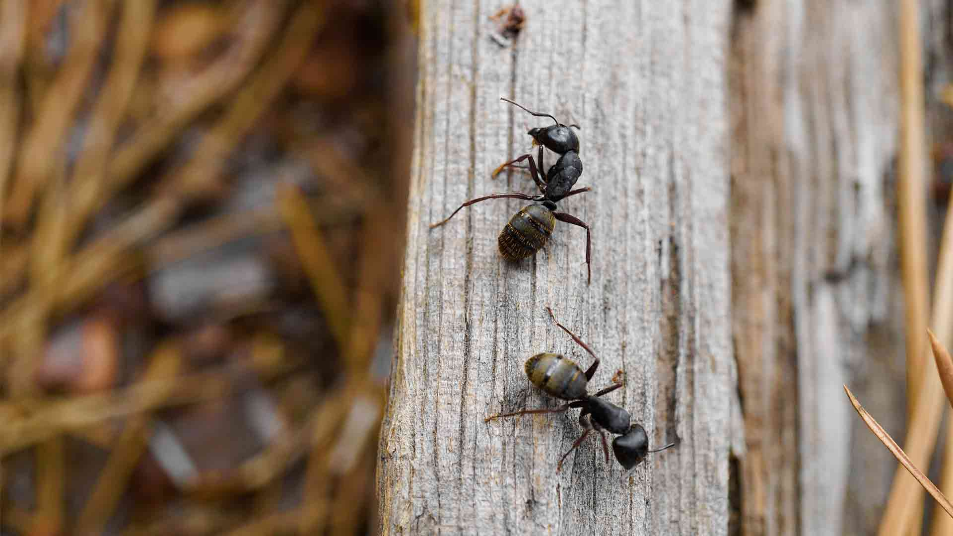 a carpenter ant colony that was removed by Massachusetts carpenter ant control