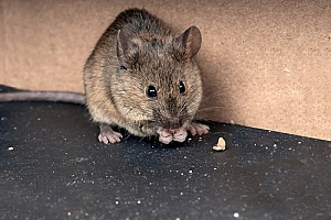 a common household mouse being removed by a pest control expert