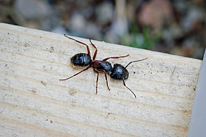 a Massachusetts pest control company working on removing carpenter ants