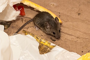 a mouse captured by a New Bedford, MA pest control expert while going through trash