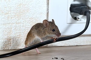 a mouse chewing on wire in a home