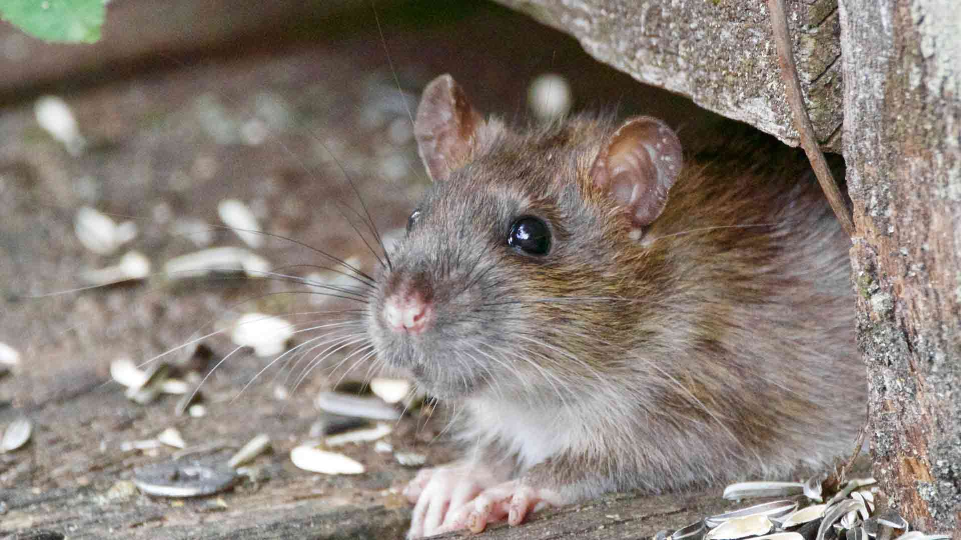 a mouse in a home that will be captured by a rodent control company