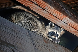a raccoon in a home that will be removed by a Massachusetts animal control company