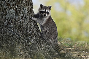 a raccoon standing next to a tree near a Lakeville, MA home