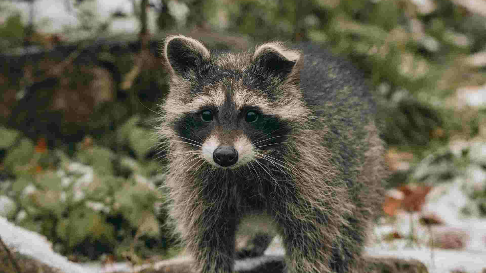 a raccoon that was trapped and removed from a home by a professional