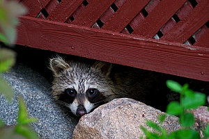 a raccoon underneath a deck that will be removed by a Massachusetts animal control company