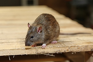 a rat in a Massachusetts home that will be removed by a rodent control team
