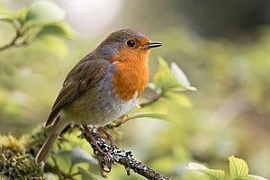 a robin bird in the wild after being removed by a bird removal expert