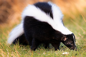 a skunk removed from a home by a Fairhaven, MA animal control specialist