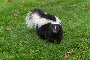 a skunk roaming the wild after professional Massachusetts skunk removal