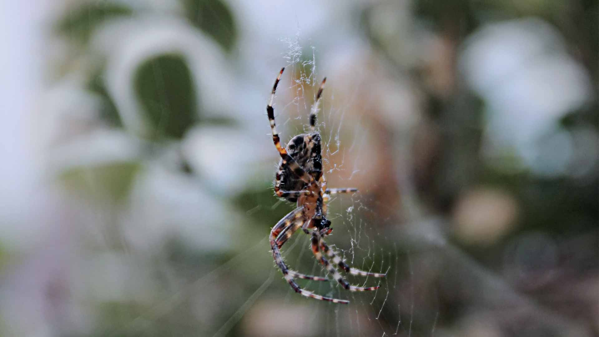 a spider in a web that will be removed through spider control