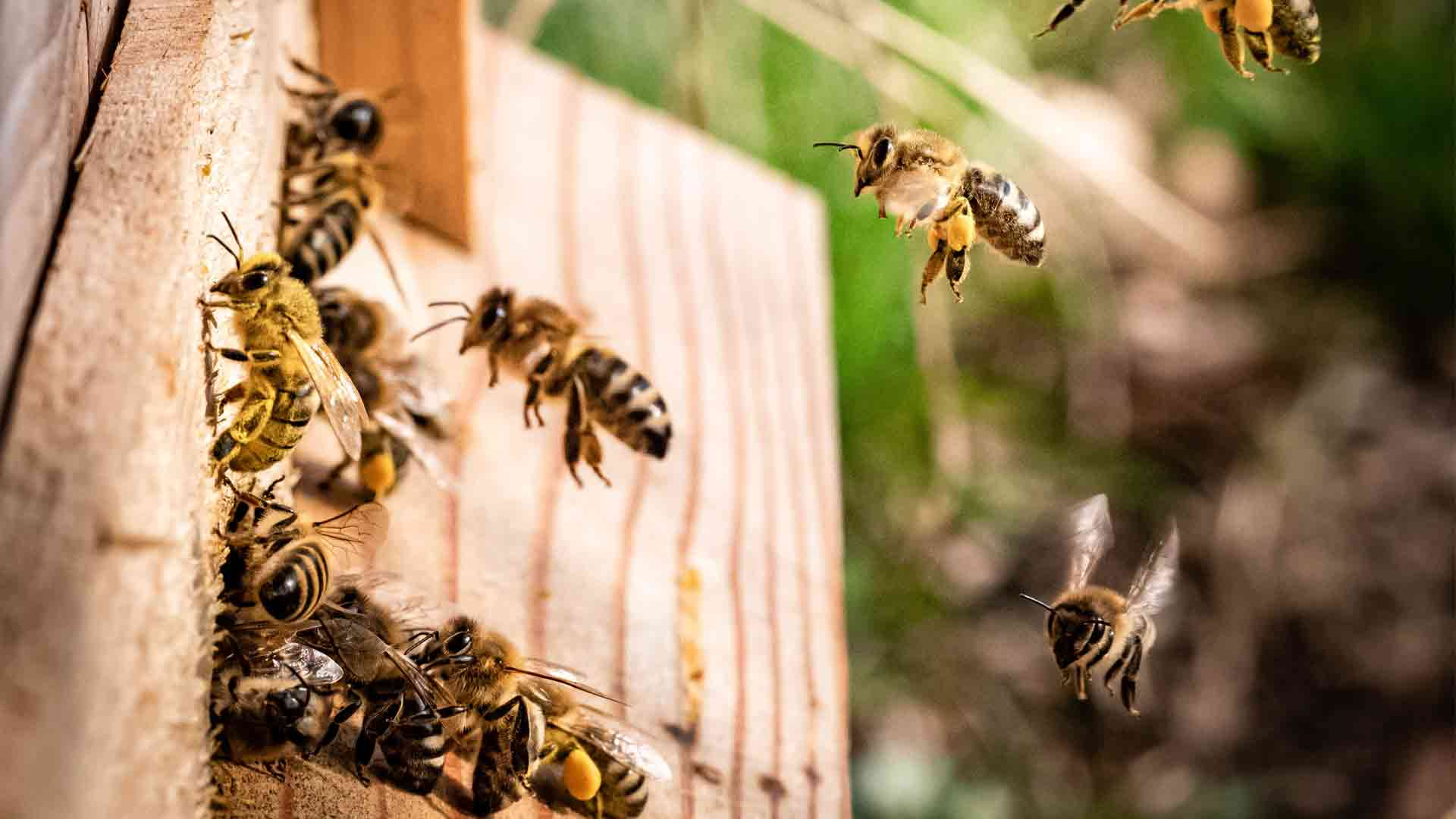 honey bees that are being controlled by a Massachusetts bee removal company