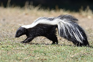 Marion, MA animal control experts capturing and releasing a skunk