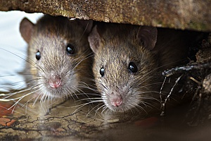 two rodents that will be removed through pest control services in Fairhaven, MA