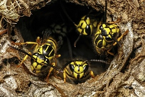 yellow jackets in a nest hole that will be taken care of through Marion, MA pest control